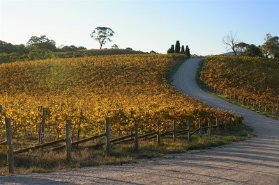 Autumn in our Angel Gully Vineyard at Clarendon